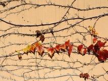 Modelo hermoso de las ramas de la hiedra Imagen de archivo