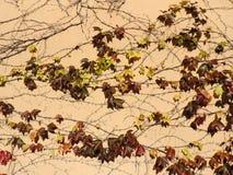 Modelo hermoso de las ramas de la hiedra Imágenes de archivo libres de regalías
