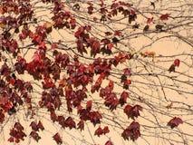Modelo hermoso de las ramas de la hiedra Foto de archivo