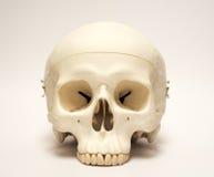 Modelo humano artificial do crânio imagens de stock royalty free