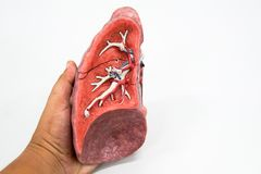 Modelo humano de la anatomía del pulmón Fotografía de archivo libre de regalías