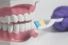 Modelo humano de los dientes con el cepillo de dientes del color a disposición Concepto del cuidado dental Foto de archivo