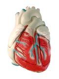 Modelo humano del corazón Imágenes de archivo libres de regalías