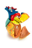 Modelo humano del corazón aislado sobre el fondo blanco Imagen de archivo