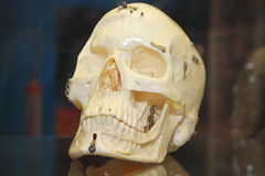 Modelo humano del cráneo Imágenes de archivo libres de regalías