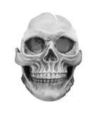 Modelo humano del cráneo aislado en el fondo blanco Fotografía de archivo libre de regalías
