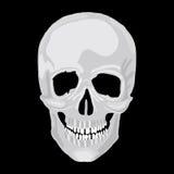 Modelo humano do crânio. Imagens de Stock