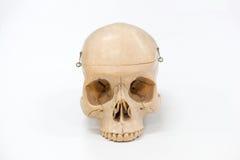 Modelo humano do crânio Imagens de Stock