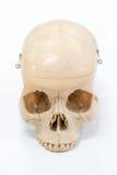 Modelo humano do crânio Fotos de Stock