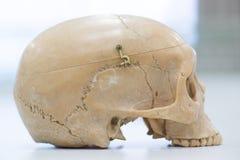 Modelo humano do crânio Foto de Stock Royalty Free