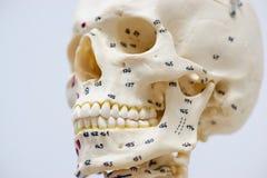 Modelo humano do crânio Imagem de Stock
