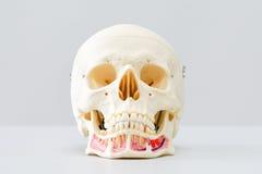 Modelo humano do crânio para a educação Foto de Stock