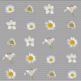 Modelo inconsútil con las flores blancas Imágenes de archivo libres de regalías