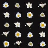 Modelo inconsútil con las flores blancas Fotos de archivo