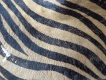Modelo llano de la piel de la cebra Fotos de archivo libres de regalías