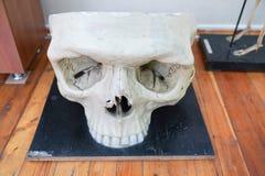 Modelo médico de um crânio humano usado nas faculdades e nas universidades ensinando a ciência anatômica foto de stock royalty free