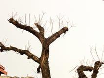 Modelo marchitado del árbol Fotografía de archivo libre de regalías