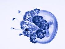Modelo marina de la jalea foto de archivo libre de regalías