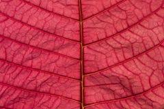 Modelo rosado del fondo de la textura de la hoja de la poinsetia Imagen de archivo libre de regalías