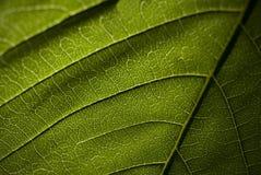 Modelo verde ascendente cercano de la licencia de la macro Foto de archivo