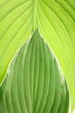 Modelo verde de la hoja Foto de archivo