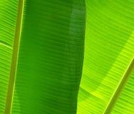 Modelo verde de la hoja Imagen de archivo libre de regalías