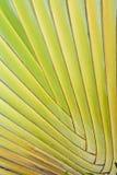 Modelo verde de las hojas de palma   Imagen de archivo