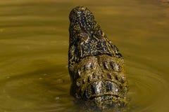 Modelos de la naturaleza: Detrás de la cabeza del caimán en agua Imagenes de archivo