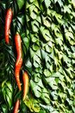 Modelos de las pimientas y de las hojas 2 del plátano Foto de archivo