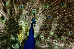 Modelos del pavo real fotos de archivo