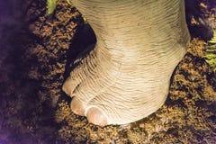Modelos do pé do dinossauro Fotografia de Stock
