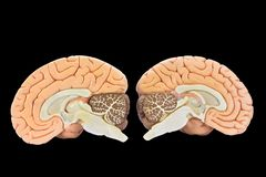Models of two brain halves on black background. Educational models of two brain hemispheres isolated on black background stock photos