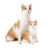 Moder Cat And Kitten Siting Together Fotografering för Bildbyråer
