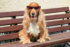 Moder dog with sunglasses. Funny modern dog wearing sunglasses sitting on a bench Stock Image