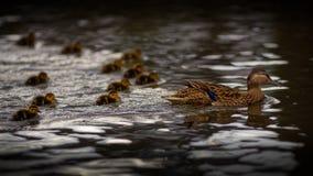 Moder Duck With Twelve Ducklings Royaltyfria Bilder