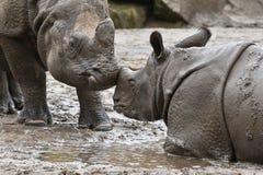 Moder för indisk noshörning och en behandla som ett barn i den härliga naturen som ser livsmiljön Royaltyfri Bild