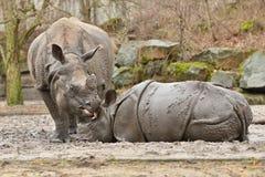 Moder för indisk noshörning och en behandla som ett barn i den härliga naturen som ser livsmiljön Arkivbilder