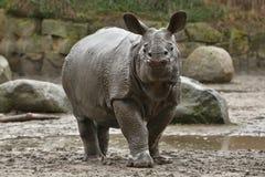 Moder för indisk noshörning och en behandla som ett barn i den härliga naturen som ser livsmiljön Arkivfoton