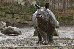 Moder för indisk noshörning och en behandla som ett barn i den härliga naturen som ser livsmiljön Arkivbild