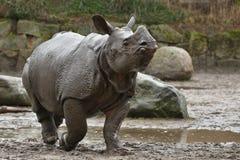 Moder för indisk noshörning och en behandla som ett barn i den härliga naturen som ser livsmiljön Royaltyfria Foton