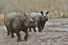 Moder för indisk noshörning och en behandla som ett barn i den härliga naturen som ser livsmiljön Royaltyfria Bilder