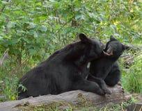 Moder för svart björn som justerar uppförande Royaltyfria Foton