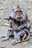 Moder med en behandla som ett barn av Lång-tailed eller denäta macaquen, full längd, Bali ö, Indonesien Royaltyfri Fotografi
