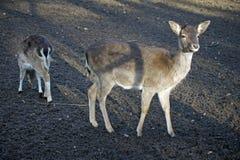 Moder och barn, i träda deers Arkivbilder