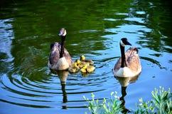 Moder och fader Goose Arkivbilder