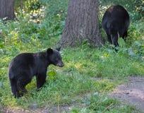 Moder och gröngöling för svart björn Royaltyfri Fotografi