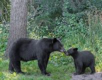 Moder och gröngöling för svart björn Royaltyfria Bilder