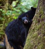 Moder och gröngöling för svart björn Arkivfoto