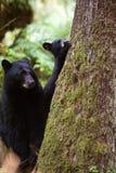 Moder och gröngöling för svart björn Fotografering för Bildbyråer