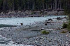 Moder- och gröngölinggrisslybjörnar på flodstrand arkivbilder